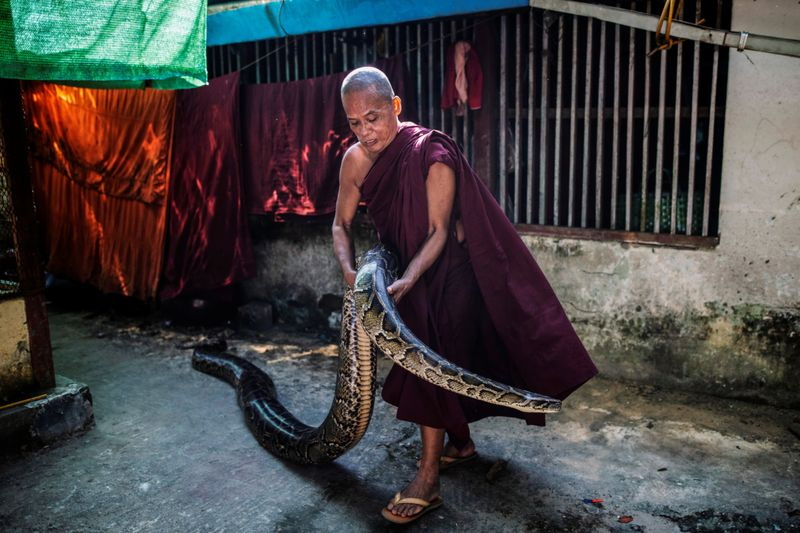 Copy of 2020-12-04T011201Z_1377157000_RC21GK90GCD7_RTRMADP_3_MYANMAR-MONK-SNAKES-1607065182072