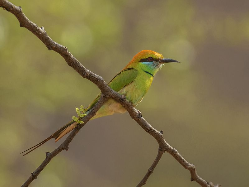03. Small Bee-Eater-1607335357060