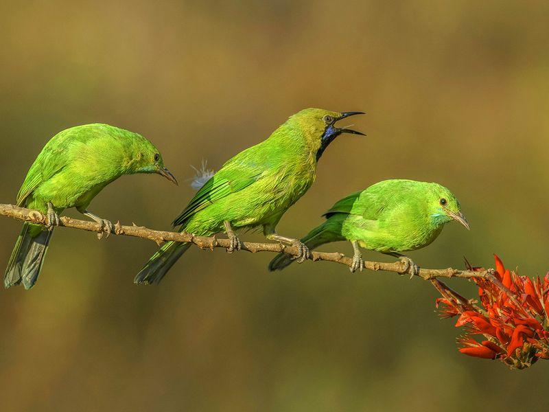 05. Jerdon's Leafbird-1607335375736