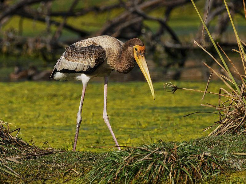 06. Painted Stork-Juvenile-1607335377939