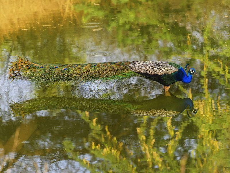07. Indian Peafowl-1607335373730