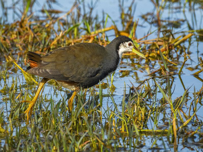 10. White Breasted Waterhen-1607335365542