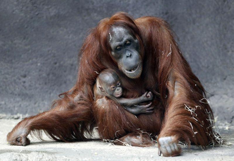 Copy of APTOPIX_Czech_Republic_Orangutans_22587.jpg-ebdcc-1608464496719
