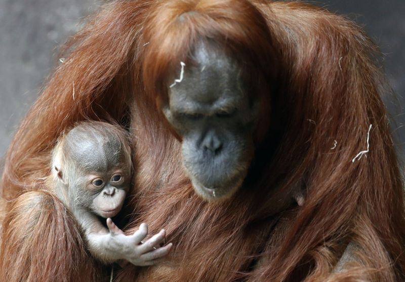 Copy of Czech_Republic_Orangutans_11037.jpg-f29a6-1608464484691