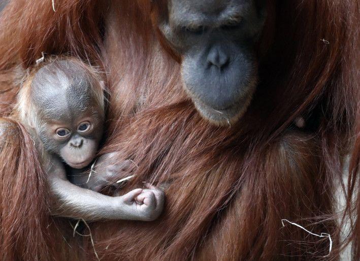 Copy of Czech_Republic_Orangutans_45961.jpg-7770b-1608464491371