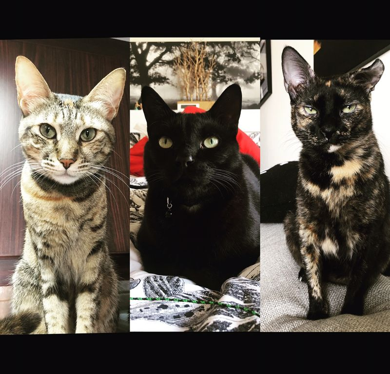 Will Janssen's cats, Yoda, Vader and Leia