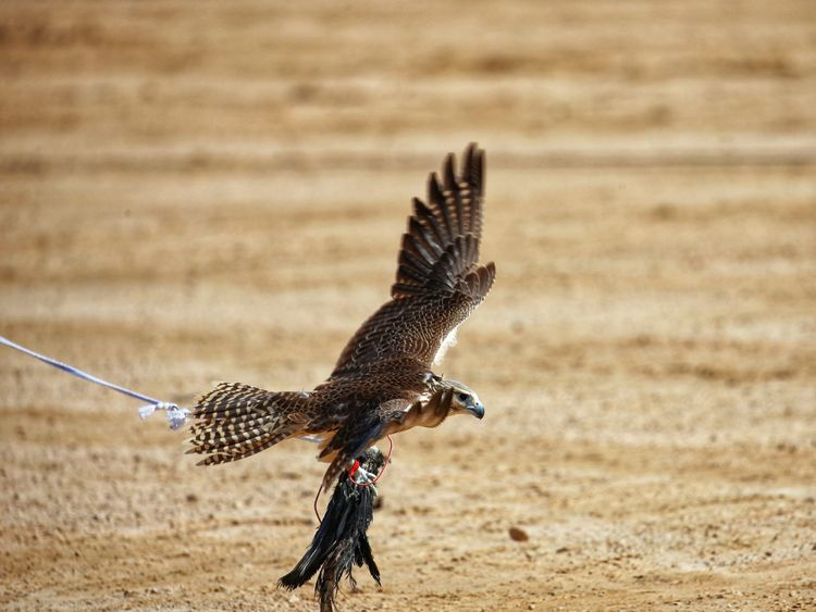 Watch: Emirati falconers vie for top prizes at Fazza ...
