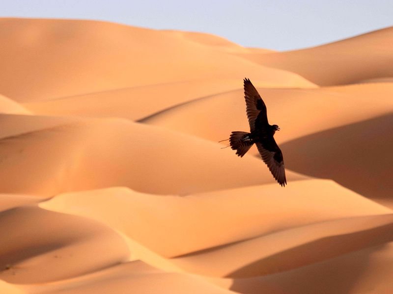 Falcons over Liwa gallery