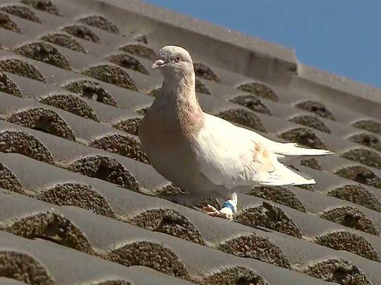 20210114 joe pigeon