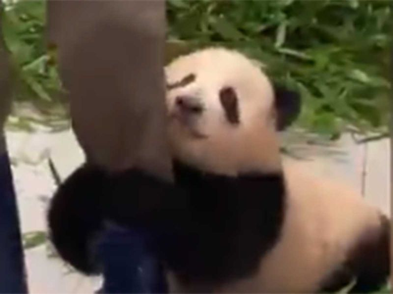 Watch: Clingy baby panda in South Korea hitches a lift on zookeeper's leg