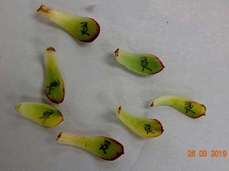 New Zealand cactus cacti
