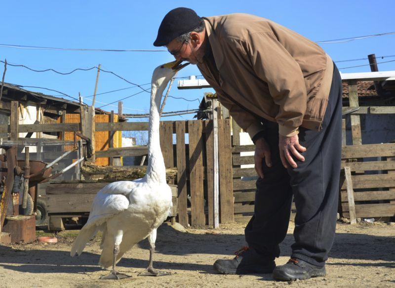 Copy of Turkey_Swan_38072.jpg-bdb5d-1612798273619