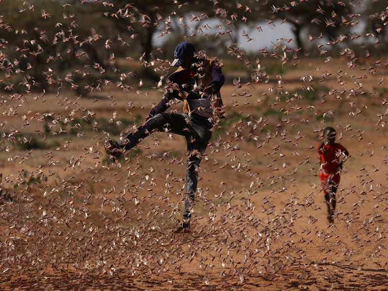 Locusts harvesting gallery