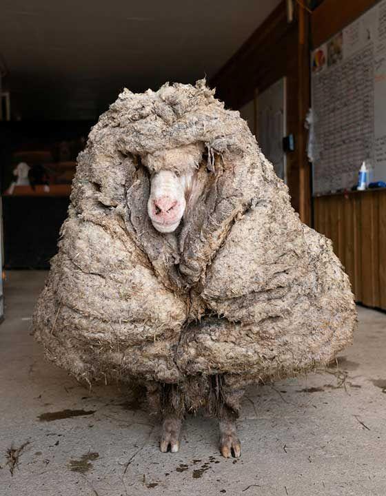 20210224 baarack the sheep