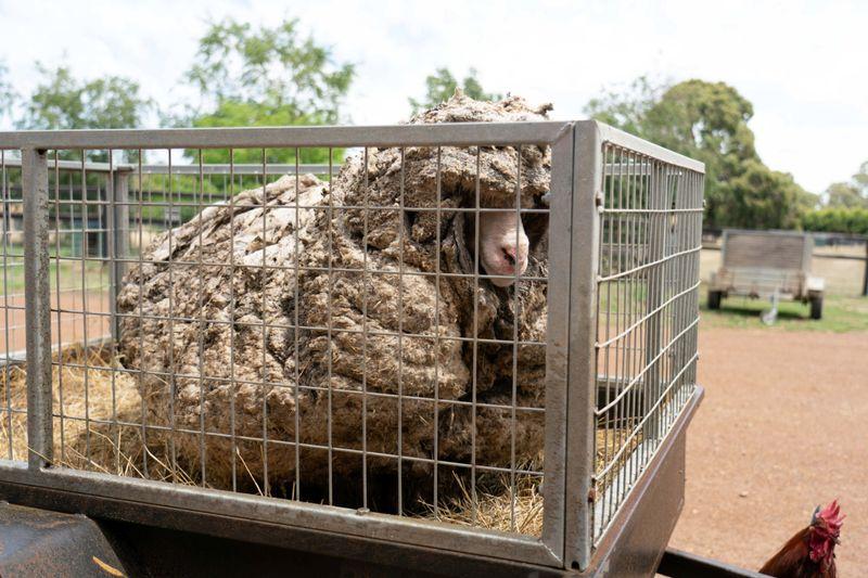 Copy of 2021-02-24T031516Z_1246618301_RC2RYL9ENB4Q_RTRMADP_3_AUSTRALIA-SHEEP-1614146659557