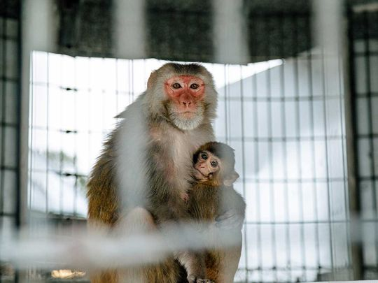 Pink-faced rhesus macaque monkey covid vaccine