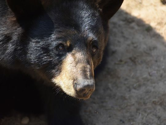 black bear, genric