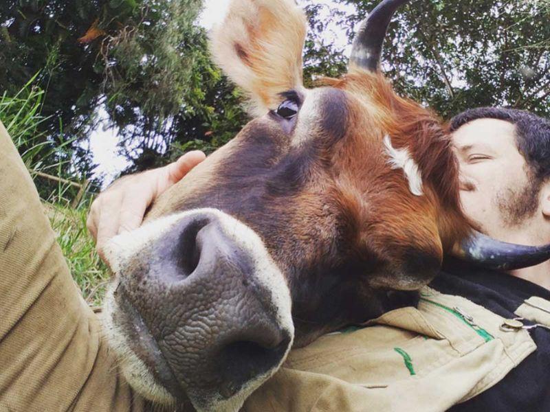 cow cuddle hug