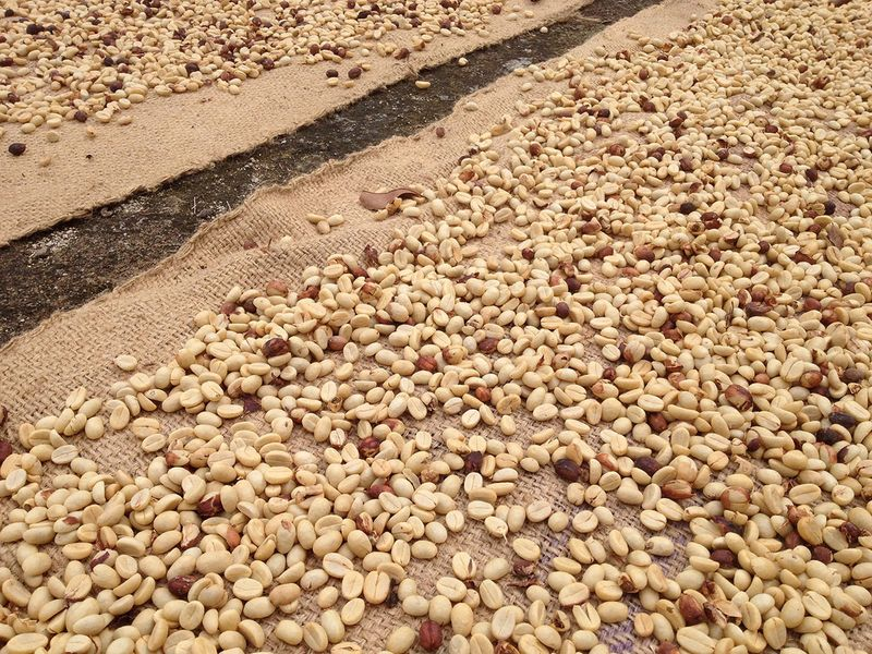 Drying coffee beans in sun