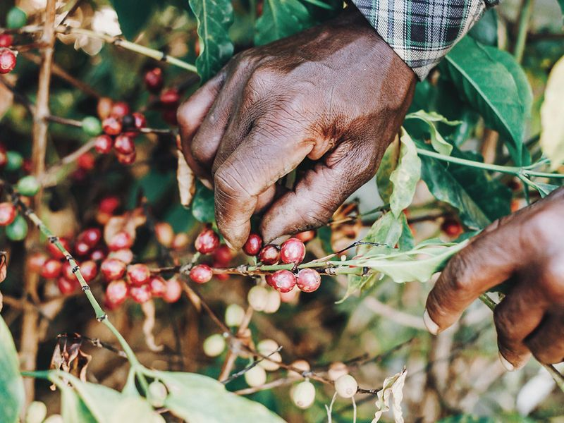 Read more to know the right way to pick coffee beans