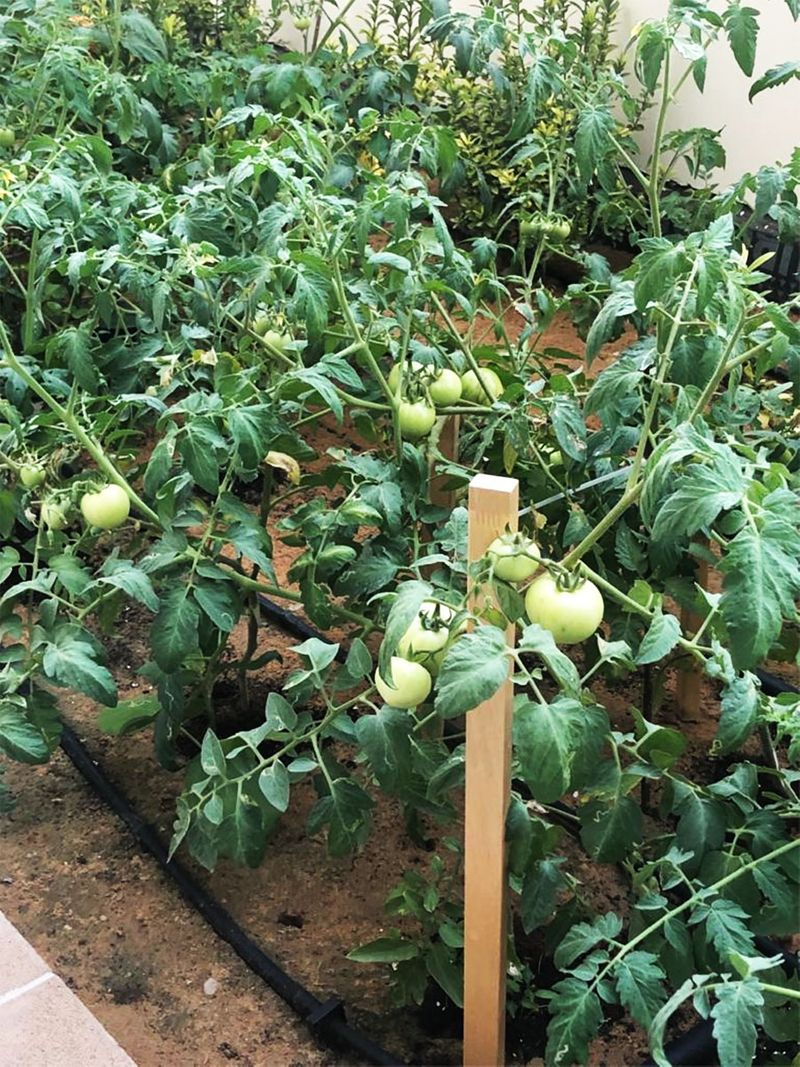 Riza Gochuico, tomato plants