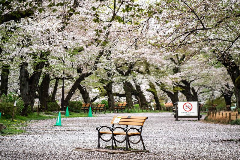 A bench is seen underneath cherry blossoms in a closed zone, to prevent the spread of the Covid-19 coronavirus, at Inokashira Park in Tokyo on March 30, 2021.