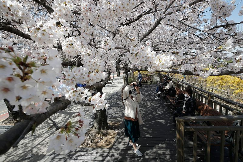 A woman wearing a face mask as a precaution against the coronavirus takes a photograph under blooming cherry blossoms in Seoul, South Korea, Tuesday, March 30, 2021. (