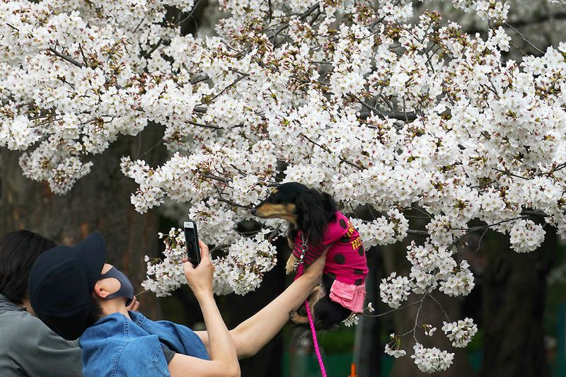 A woman wearing a protective mask to help curb the spread of the coronavirus carries a pet dog to take a photo under cherry blossoms Friday, March 26, 2021, in Tokyo. Cherry blossoms in many parts of Japan used to reach its prime in April just as the country celebrates the start of its new school and business year. Today, they bloom earlier in the spring and are mostly gone for the occasion, most likely because of the climate change.