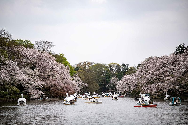 People looks at cherry blossoms at Inokashira Park in Tokyo on March 30, 2021.