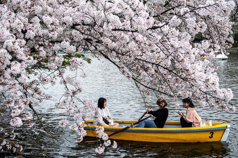 People ride a boat looking at cherry blossoms at Inokashira Park in Tokyo on March 30, 2021.