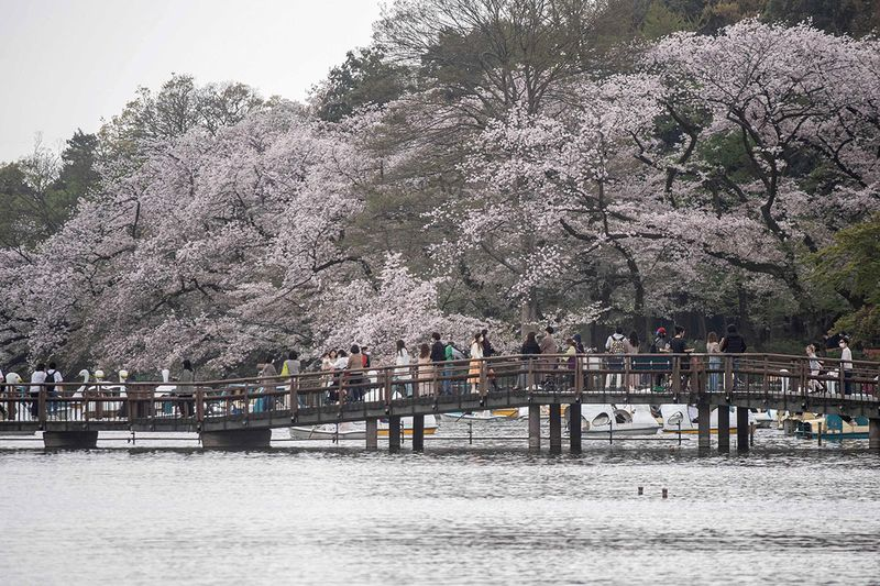 People watch cherry blossoms at Inokashira Park in Tokyo on March 30, 2021.