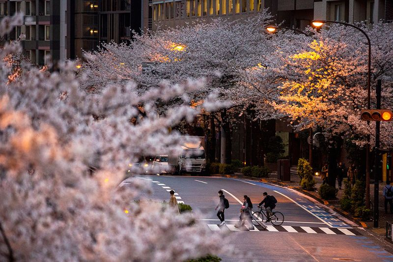 People wearing protective masks to help curb the spread of the coronavirus walk across a street under a canopy of cherry blossoms Sunday, March 28, 2021, in Tokyo. Japan's favorite flower, called