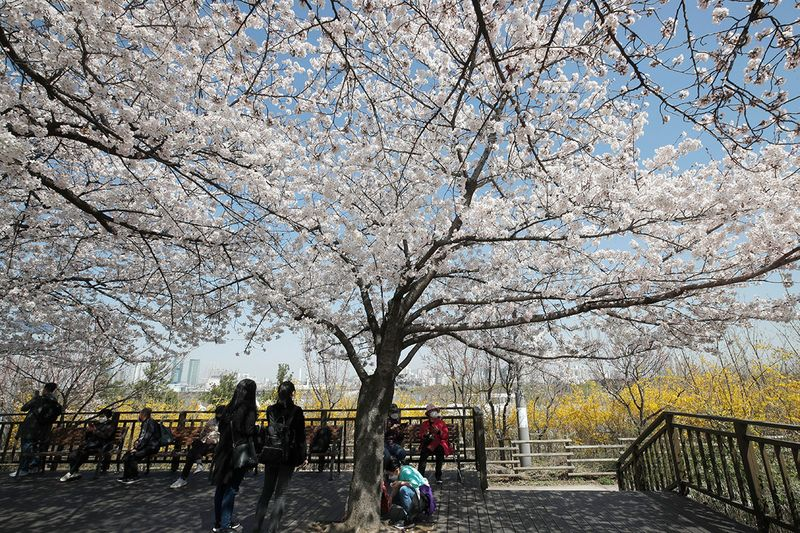 Visitors wearing face masks as a precaution against the coronavirus sit on benches while maintaining social distancing under blooming cherry blossoms in Seoul, South Korea, Tuesday, March 30, 2021.