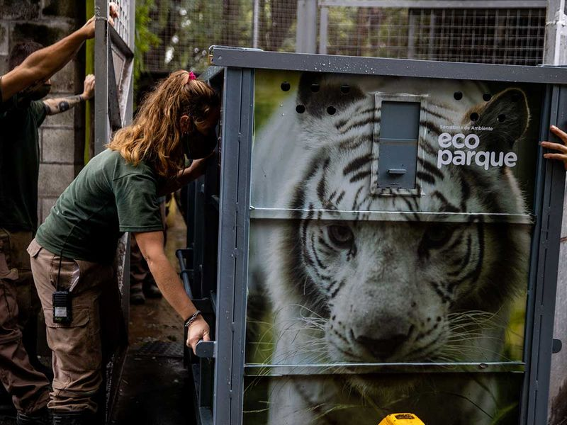 White bengal tigers gallery