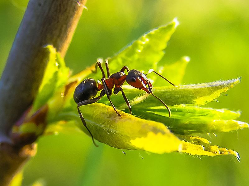 Why Indian jumping ants shrink their brains