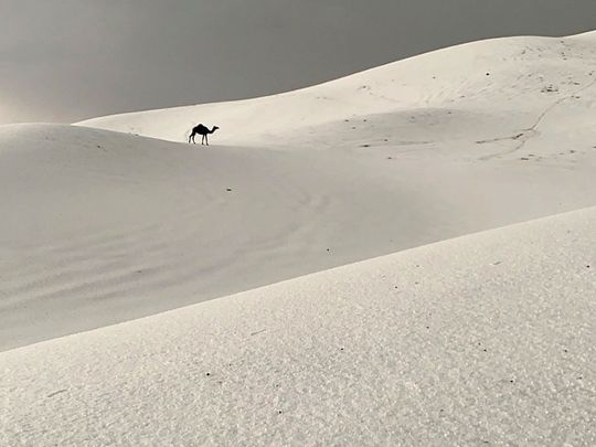 A camel seen walking in desert sand covered with hailstones in Saudi Arabia.