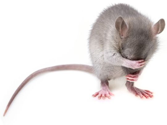 rat, rodent, mouse