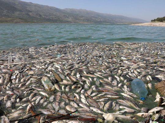Dead fish  Lake Qaraoun on the Litani River, Lebanon