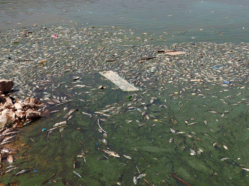 Dead fish are seen floating in Lake Qaraoun on the Litani River, Lebanon.