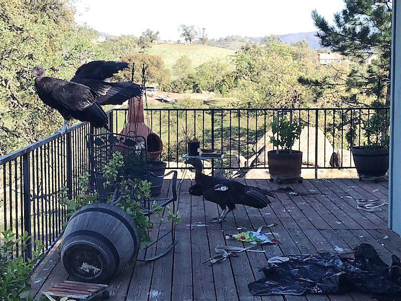 Copy of ODD_Messy_California_Condors_54029.jpg-13235-1620482701984