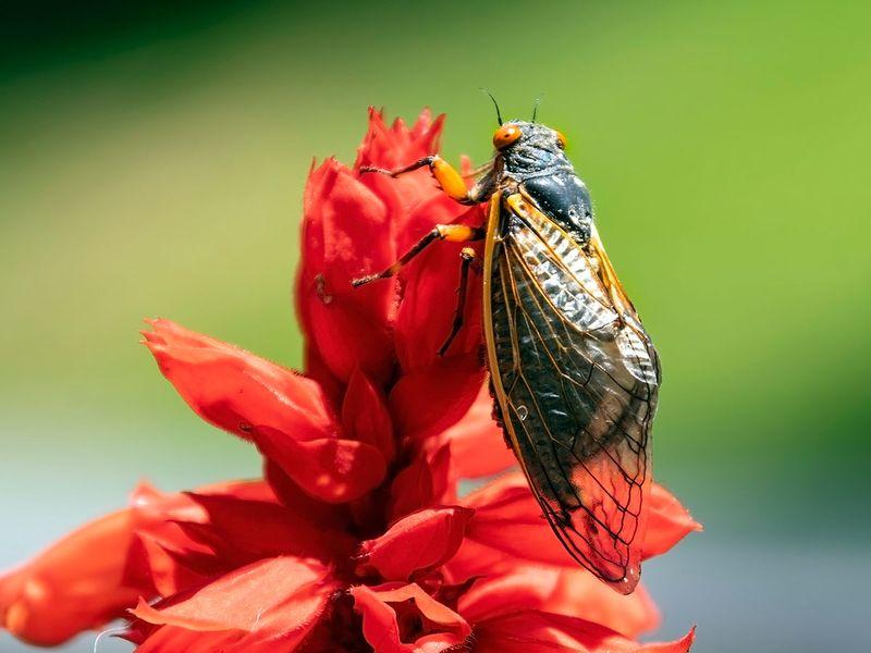 A recently emerged cicada is seen in Oakton