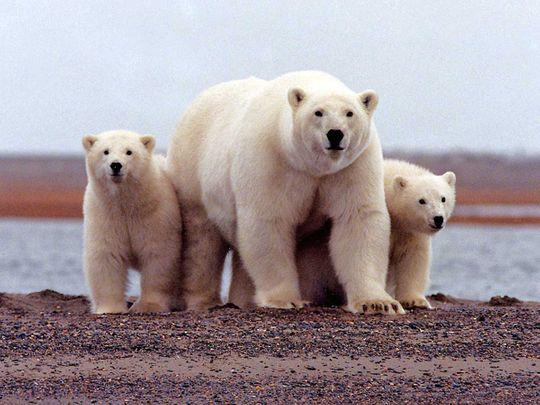 polar bear Arctic National Wildlife Refuge