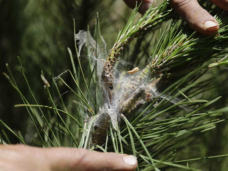Lebanon pine tree