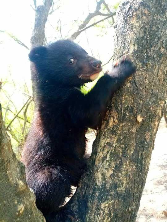 Pakistan bear