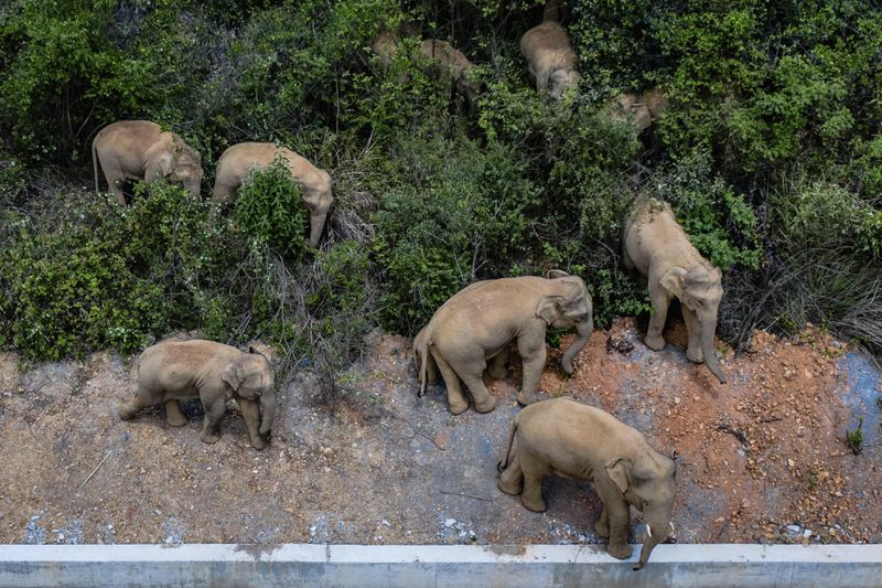 Copy of China_Wild_Elephants_64051.jpg-47f17-1622896755520