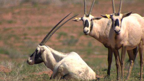NAT FILE Arabian oryx-1623066494303