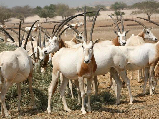 NAT FILE Arabian oryx2-1623066497287
