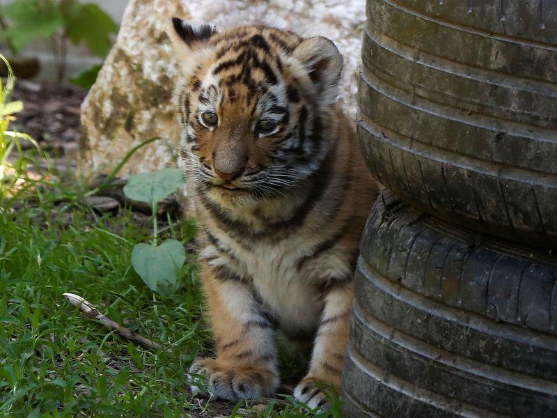 Siberian tiger cubs gallery