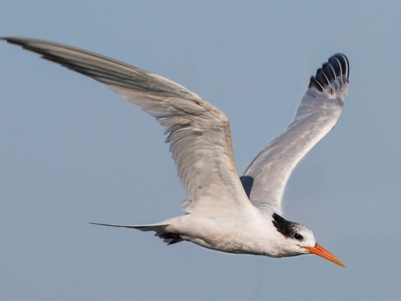 The elegant tern