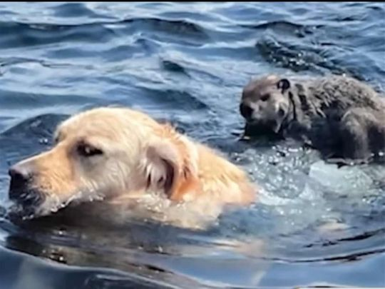Golden retriever caught on video giving rodent aquatic ride
